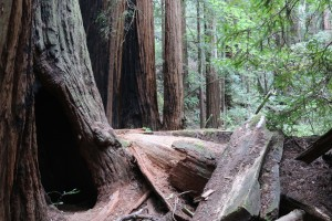 Muir Woods, CA May 2015